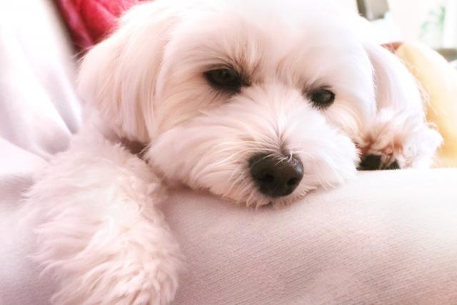 ミックス犬(マルプー)